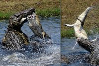 360759fe0b1 Čelisti smrti rozlomily i krunýř  Krokodýl si pochutnal na želvě!