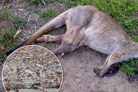 Toulaví psi v brněnské zoo rozsápali tři klokany a lamu