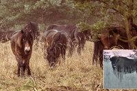 Českem se prohání další stádo divokých koní. Doplní v Milovicích skupinu zubrů