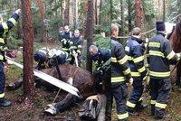 Dramatický zásah hasičů: Kobyle v lese zapadla noha do díry, na nohy ji postavili pomocí kladek