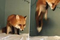 Zmatená liška si spletla prostěradlo se sněhem, do postele se snažila marně zabořit