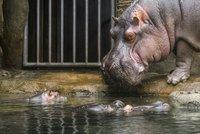Velká rána pro pražskou zoo: Zemřel slavný hroch Slávek, symbol povodní z roku 2002