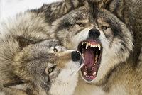 Vlk nakažený vzteklinou zaútočil na lidi. Rus ho uškrtil holýma rukama