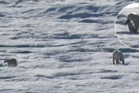 Krutá Arktida: Lední medvěd sežral mládě před zraky vyděšené medvědice