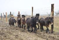 Divocí a plodní. Koním v Milovicích se narodilo první letošní hříbě