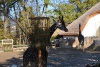 Smutná zpráva ze zlínské zoo: Uhynul žirafák Bataro! Tělo poslouží k preparaci