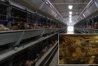 Kanibalismus a amputace bez anestezie. Velkochovy slepic v Česku čelí kritice