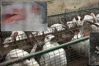 Mrtvoly mezi králíky a neléčené záněty. Aktivistka tepe podmínky velkochovů