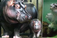 Hroší mimino v pražské zoo je skvělý »potápěč«: Mléko pije pod vodou