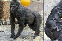 Gorilí mládě se jí musí držet samo: Tvrdá výchova od mámy Shindy