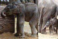 Slůně v pražské zoo se učí pečovat o svou kůži: Necvičím, netančím, drbu se