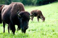 Štvanice na uprchlé bizony v jižních Čechách: Odstřel není řešení! Zlobí se lidé