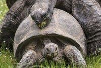 Želvy v pražské zoo se na sebe vrhly: Oddávaly se želví lásce před zraky návštěvníků