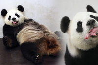 Opravdový zázrak: Panda porodila mládě! V Evropě se to povedlo jen dvakrát