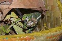 Celníci chytili pašeráka, v kufru vezl chameleony z Madagaskaru: Dostal tučnou pokutu