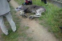 V Brně odchytávali po losí matce i její mládě: Obě zvířata uhynula!