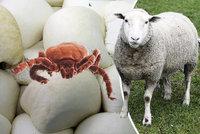 Klíšťata útočí, celý týden bude vysoce rizikový. Nákazu mohou šířit i ovčí sýry