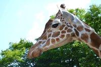 Smrt žirafího samce v brněnské zoo. M'Toto špatně žral a museli ho utratit