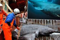 Vědci objevili unikátního žraloka: Je mu 392 let!