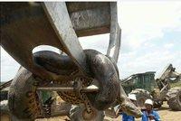 Dělníci narazili na největšího hada světa: Anakonda měřila 10 metrů!