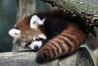 Pandí dvojčata ztrácejí ostych. Ve zlínské zoo už je mohou vidět návštěvníci