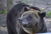 Obávaný medvěd poprvé zaútočil! Při obchůzce lesa napadl myslivce a potrhal ho