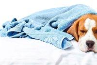 Suchý čumák věští nemoc, psi vidí jen černobíle? 5 častých mýtů podle veterinářky