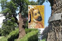 Nejstarší strom v Praze: Dub Karel je 550 let starý, pamatuje i Jiřího z Poděbrad