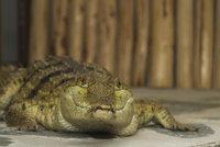 Unikátní zoo má vzácný přírůstek: Krokodýla, který vymírá kvůli žábám