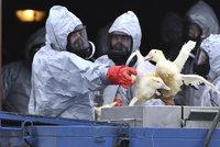 Vrátí se do Česka ptačí chřipka? Přinést ji může stěhování ptáků na podzim
