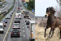 Po dálnici D1 pobíhalo deset koní, utekli majiteli