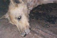 Otřesné týrání: Fenka visela na plotě se zlomenou nohou, majitel ji hodil do kotce
