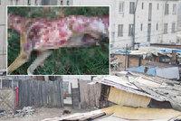 Ocitli jsme se na psí zabijačce! V romské osadě před ochranáři zvířat stáhli psa z kůže