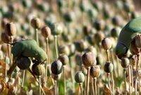 """Ptáci útočí na maková pole, aby se """"sjeli"""" opiem. Farmáři: Padají i ze stromů"""
