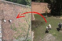 V Brně je možné všechno: Kozy lezou a skáčou po stěnách Špilberku!