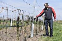 Víno zdraží, varují vinaři. Jarní mrazy napáchaly škody za 1,2 miliardy