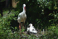 Plodné čapí hnízdo: Postižení čápi mají mladé, létat musí bez rodičů
