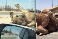 Pozor, objížďka! Uprostřed silnice si to rozdal pár nadržených velbloudů