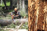 Tisíce stromů šly k zemi kvůli kůrovci. Těžba je rekordní, kalamita pokračuje
