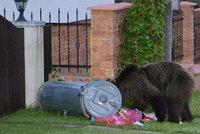 Medvědici Ingrid sebrali mláďata: Teď chodí ulicemi a všude je hledá