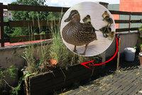 Kachňata se vylíhla v truhlíku na terase! Na vodu je museli odvézt
