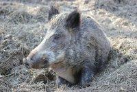 Africký mor na Zlínsku unikl z ohraničené zóny. Zabil sedm divočáků mimo ni