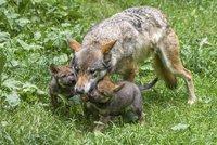 V pražské zoo utekla vlčice. Před výletem do Belgie se prokousala z výběhu