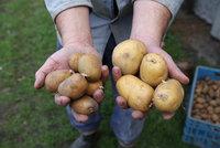 V Česku bude chybět 100 tisíc tun brambor. Neurodily se kvůli suchu