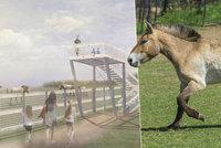 """Klisny koně Převalského už cválají na Dívčích hradech. """"Hlavně je ničím nekrmte!"""" nabádá ředitel pražské zoo"""