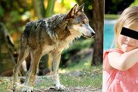 Dívku (3) v olomoucké zoo pokousal vlk: Nebyla to naše chyba, brání se zahrada
