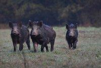 V divočácích z Maďarska byl nebezpečný parazit, zjistili veterináři