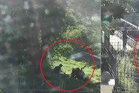 Drsné záběry: Mladíka z Kladna trhá medvědice, přítelkyně křičí o pomoc