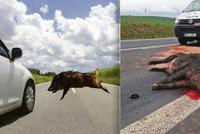 Řidiči, brzděte! Zvířat na silnicích přibývá: Nejnebezpečnější jsou divočáci