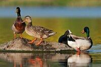 Šokující sčítání: V Národním parku Podyjí je extrémně málo ptáků! Sotva pár set, loni na pět tisíc